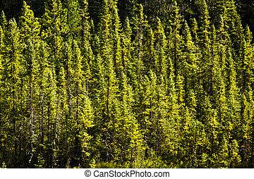 boreal, bosque