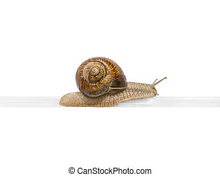 Elevated railway Burgundy snail on a plastic rail isolated...