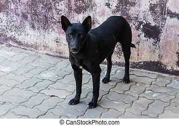 Thai Homeless Dog