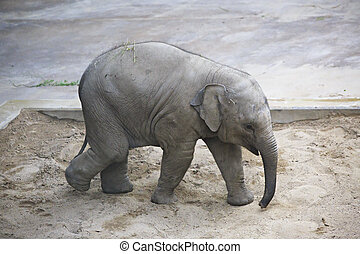Baby elephant playing in the sandbox.
