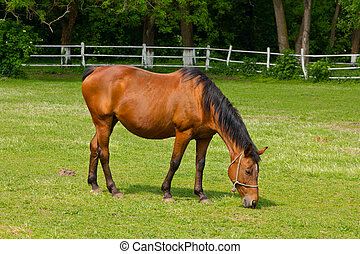 Grazing Horse - Horse on pasture in the paddock.