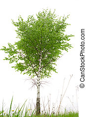 Birch - Single birch on white ground