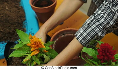 Female Gardener Transferring Plant - High angle, static shot...