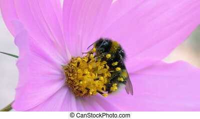 Bumblebee is resting on a cosmos flower