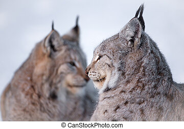 Two lynx rests in the snow - Two eurasian lynx laying in the...