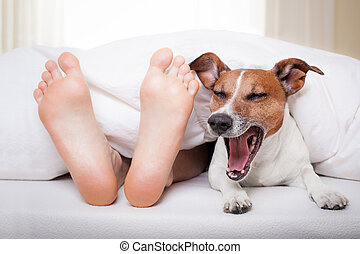 sleeping dog and owner - yawning dog in bed with owner under...