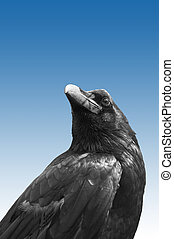 Isolated Raven - The photograph of an isolated raven bird....