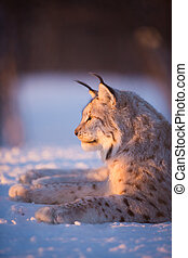 Lynx in the sunset - Eurasian lynx lies in the snow and...