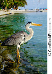 Grey Heron - Grey Chiron on the beach Maldives Indian Ocean...