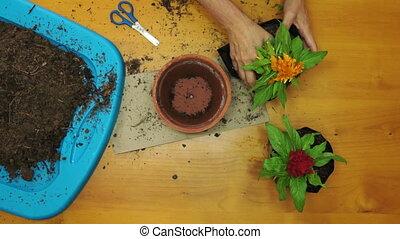 Female Gardener Planting Overhead - Overhead shot of a...