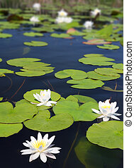 summer lake with water-lily flowers
