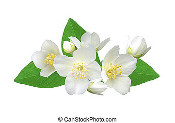 White flower (jasmine) isolated on white background.