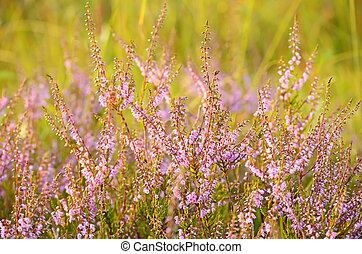 Calluna vulgaris flowers on meadow