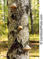 Fomes fomentarius mushrooms on tree in the forest