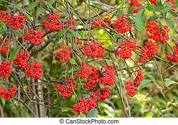 Red Elderberry Sambucus racemosa the branches