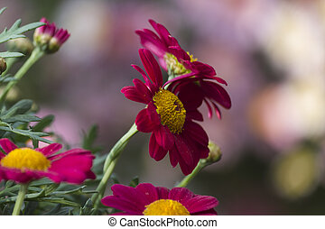 colored daisy in spring
