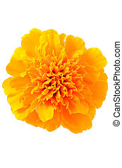Close up tagetes flower isolated on white background