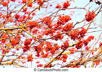 Rowan berries on the tree