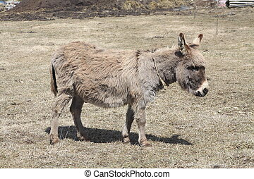 Donkey-Gray - Gray Donkey with winter growth of hair in a...