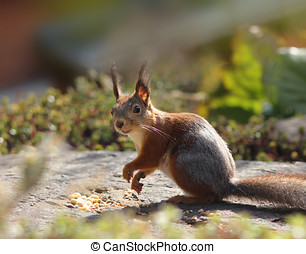 Funny squirrel in garden - Funny red squirrel eating peanuts...