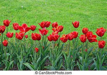 Red tulips - Bright red tulips in border against green...