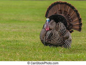Wild Turkey - Wild turkey strutting for a mate in the spring...