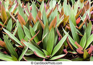 Oyster plant.