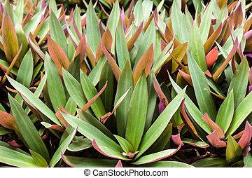Images photographiques de rhoeo 13 photographies et for Plante huitre