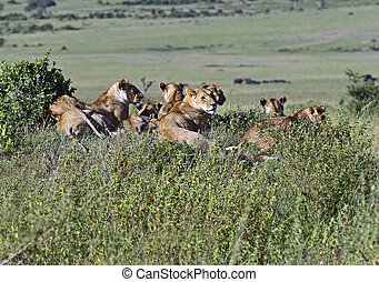 Lions Masai Mara - Lionss walking her five cubs through...
