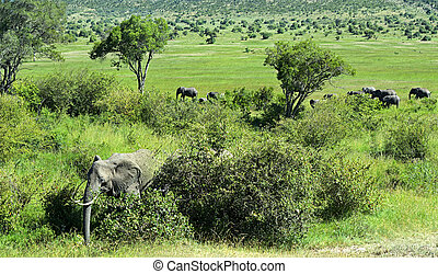 African elephants in their natural habitat Kenya Africa