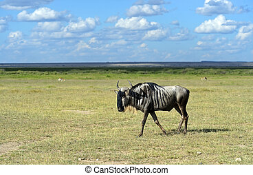 Wildebeest - African Wildebeest in Amboseli National Park...