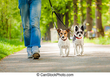 dogs going for a walk - owner and two dogs going for a walk