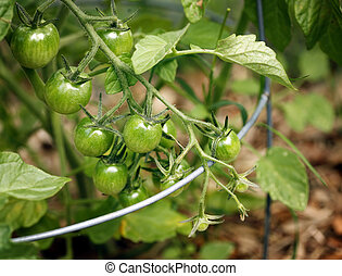 Tomatoes - Bed with growing tomatos