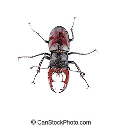 Wet brown stag beetle