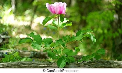 spring mountain wood - Peony in spring mountain wood