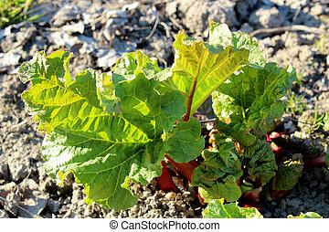 joven, Brotes, cocina, jardín, ruibarbo