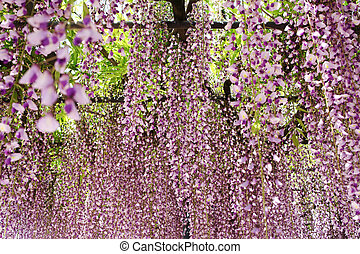 wisteria trellis in the Japanese Garden