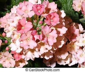 Verbena Blossom Background - Close up image of a Verbena...