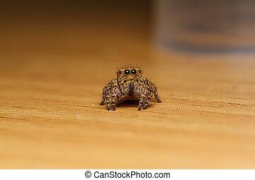 jumper spider