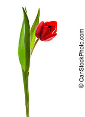 red tulip - Beautiful and red tulip on a white background