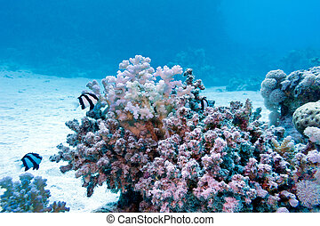 coral reef with hard coral and exotic fishes white-tailed...