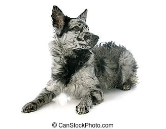 Hungarian dog - mudi shepherd in front of white background