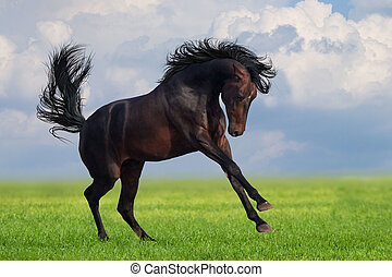 Horse gallop on a green grass - Bay horse runs gallop on the...