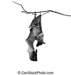 Flying Fox - Large Bat, Hanging Flying Fox (Pteropus...