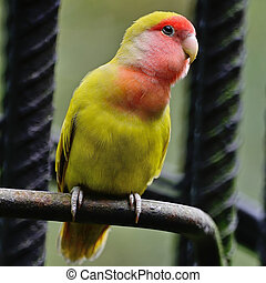 Lovebird - Beautiful bird, Lovebird, standing on the steel...