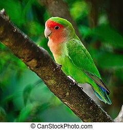 Lovebird - Beautiful bird, Lovebird, standing on the tree...