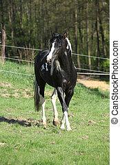 Amazing paint horse stallion with long mane running