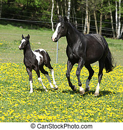 Amazing mare with little foal running on spring pasturage -...