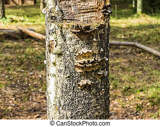 The fungus tree - photo of an old tree