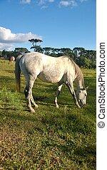 Cavalo Branco pastando abaixo de um cu azul lindo